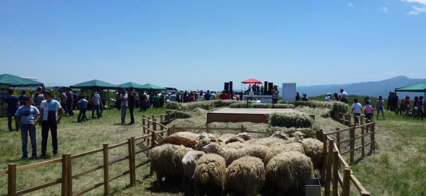 Over 2000 People Attended Sheep Shearing Festival